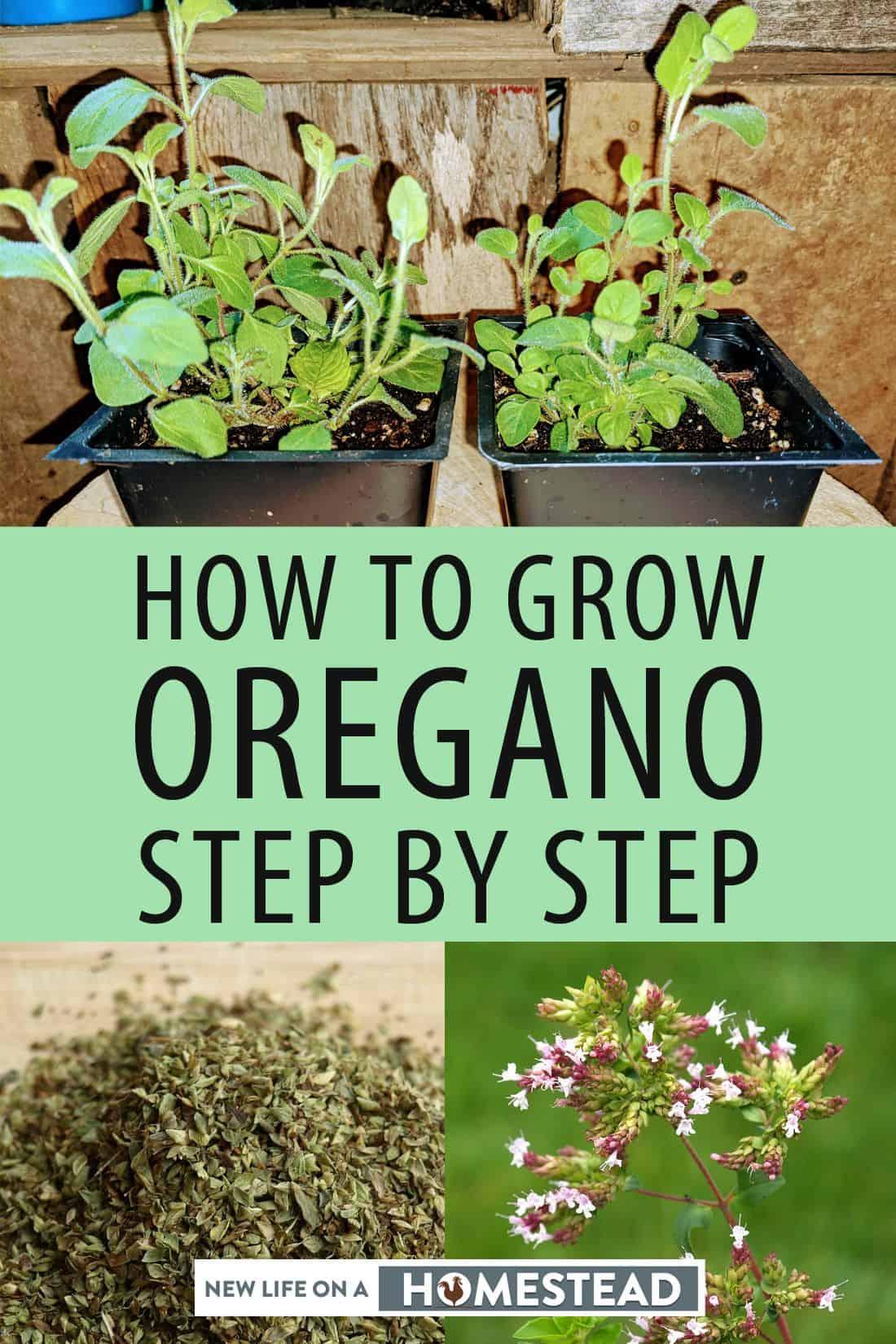 growing oregano pinterest