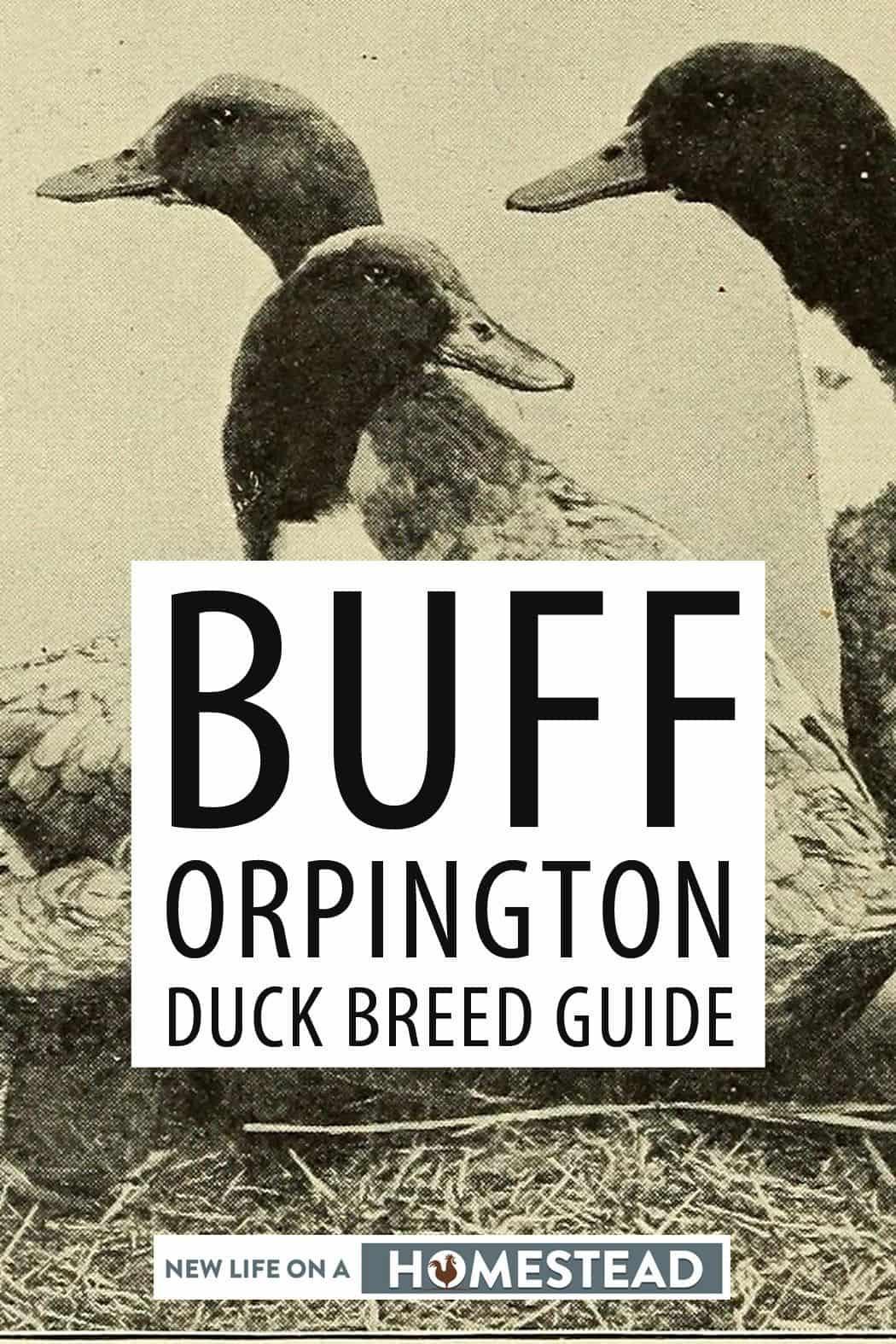 Buff Orpington Ducks pinterest