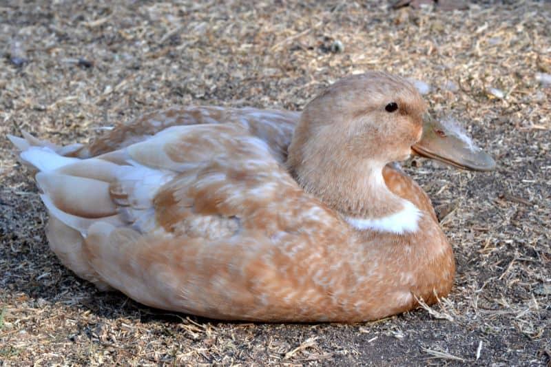 Orpington Duck