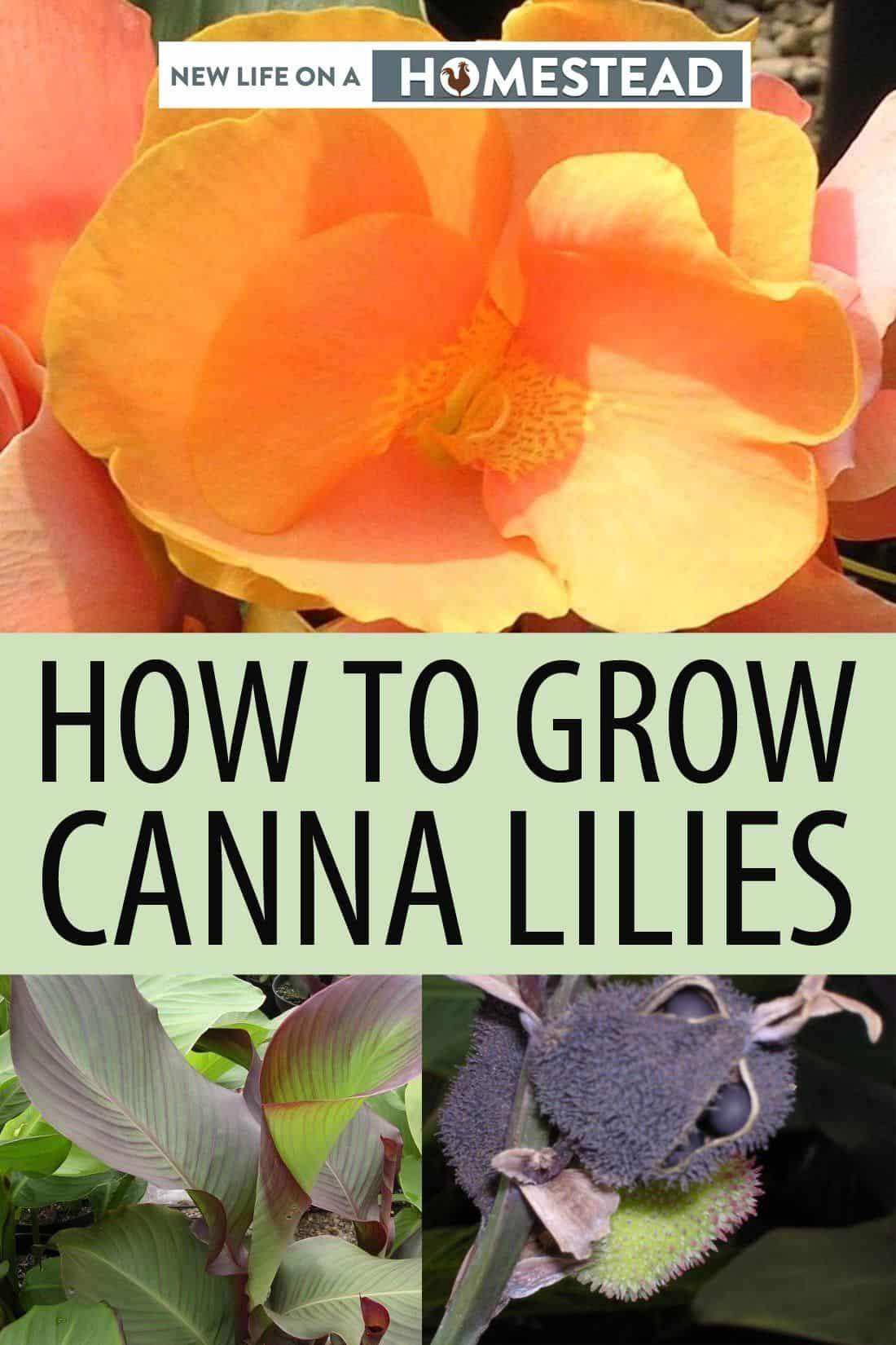 canna lilies pinterest