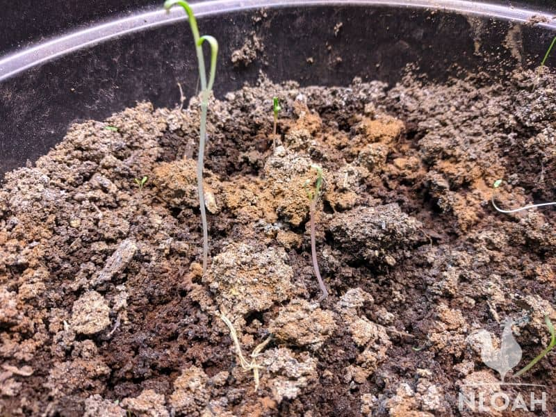 damping off disease on container sprouts