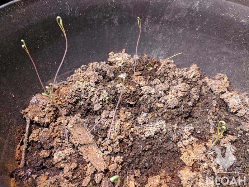 echinacea sprouts with damping off disease