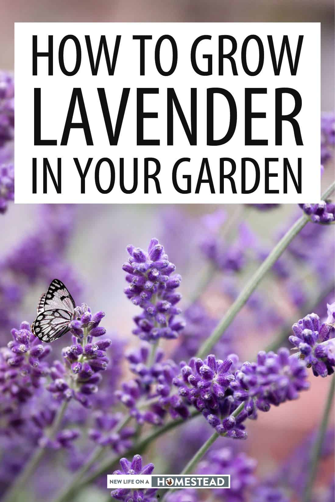 growing lavender pinterest