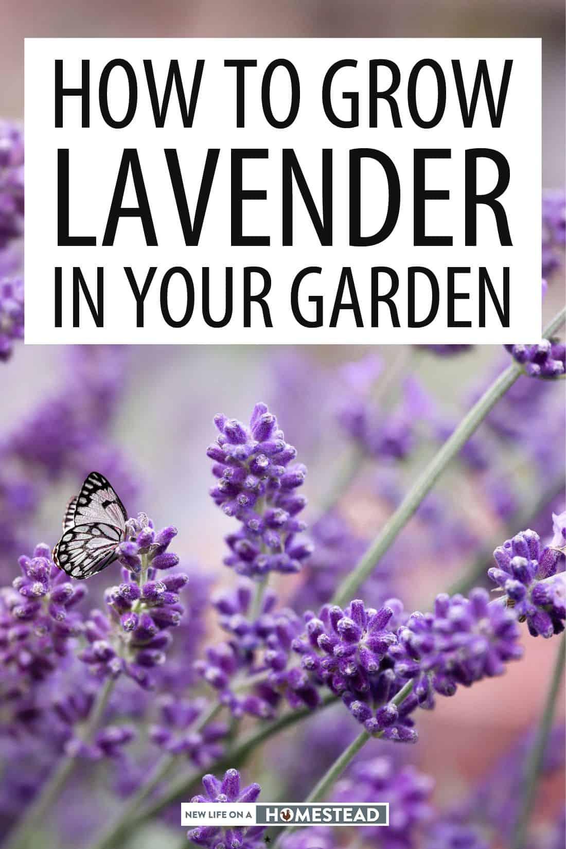 growing lavender pinterest