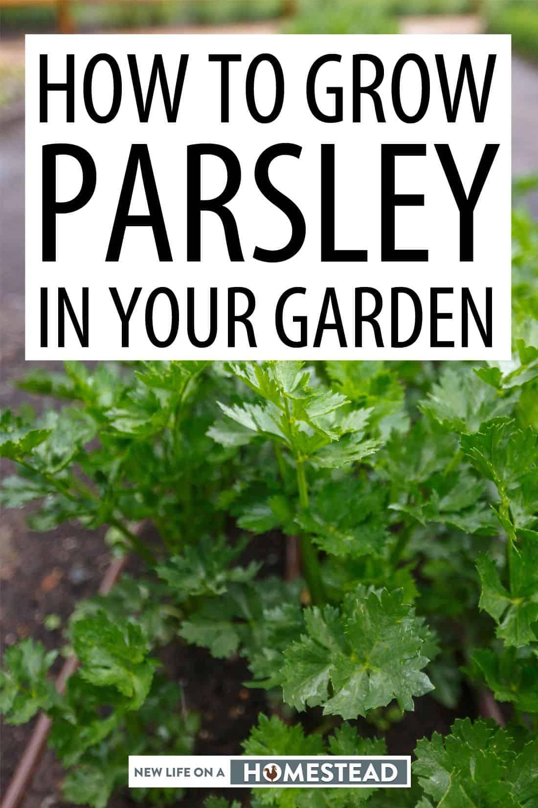growing parsley pinterest image