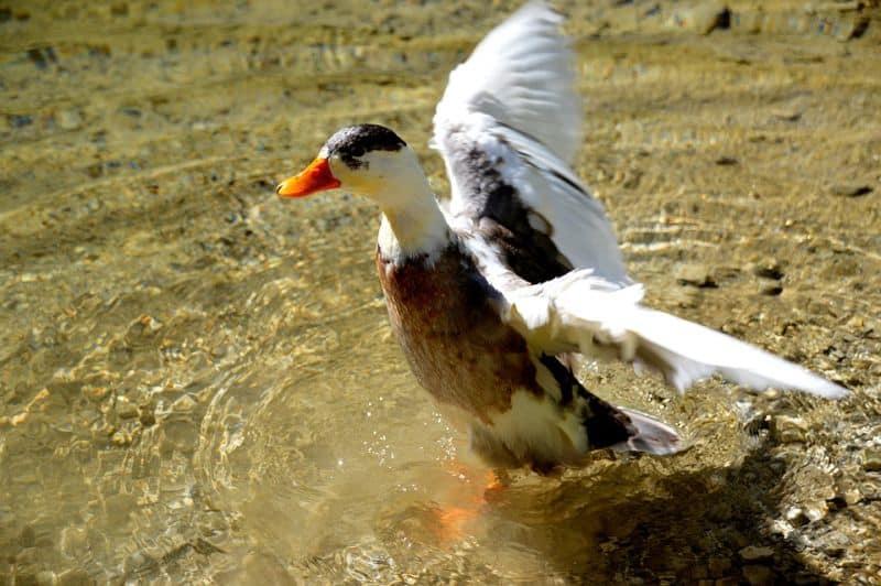 magpie duck