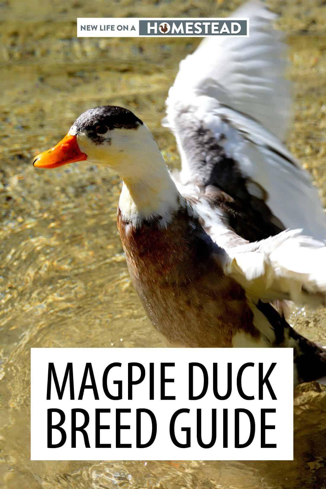magpie ducks pinterest