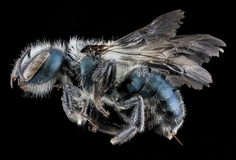 Maine blueberry bee