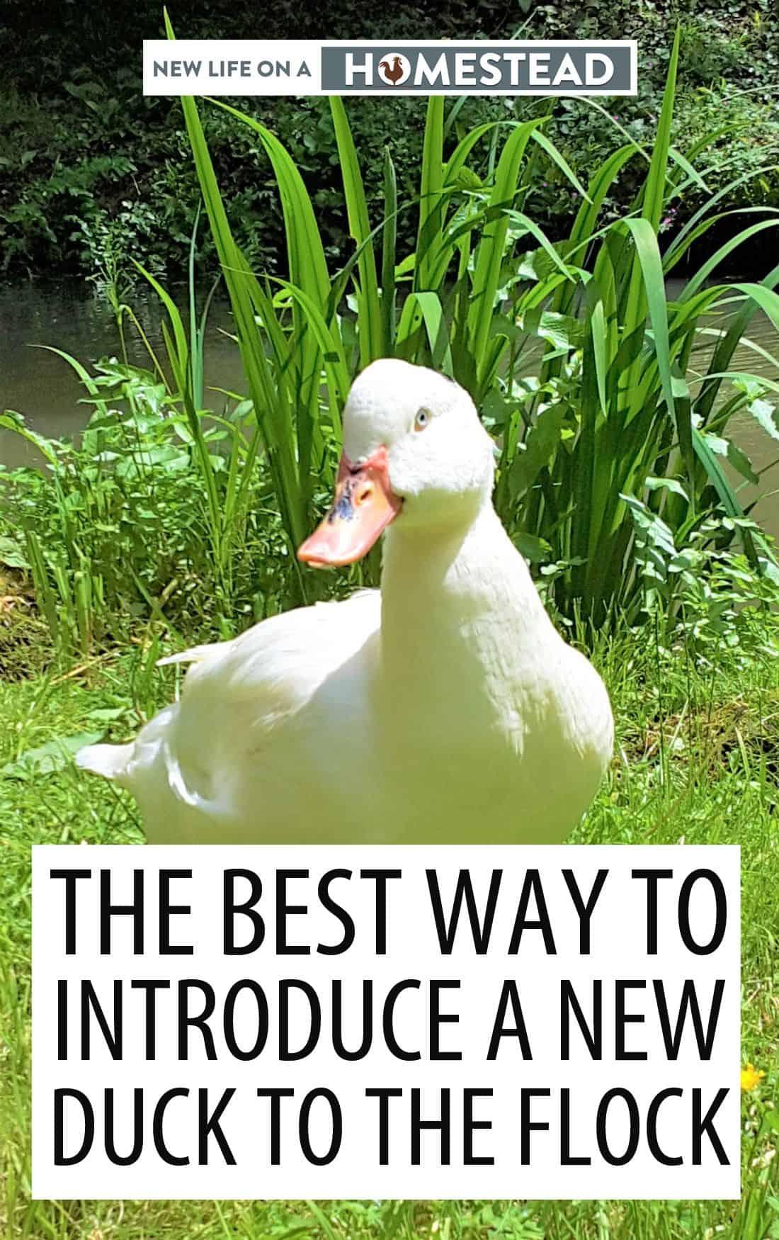 introducing ducks to flock pinterest