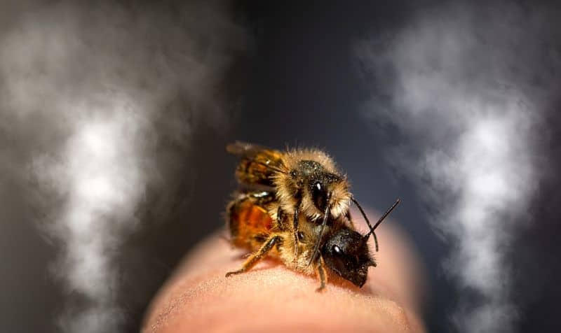 mason bees