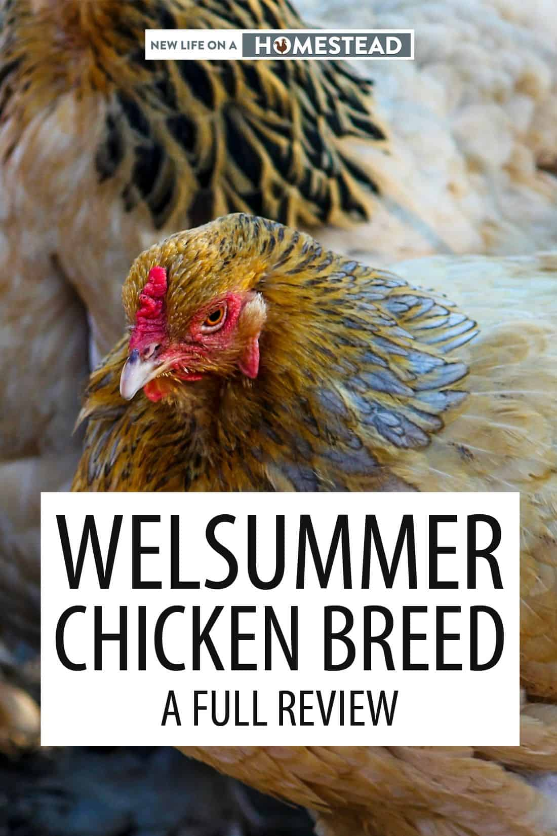 welsummer chicken breed pinterest