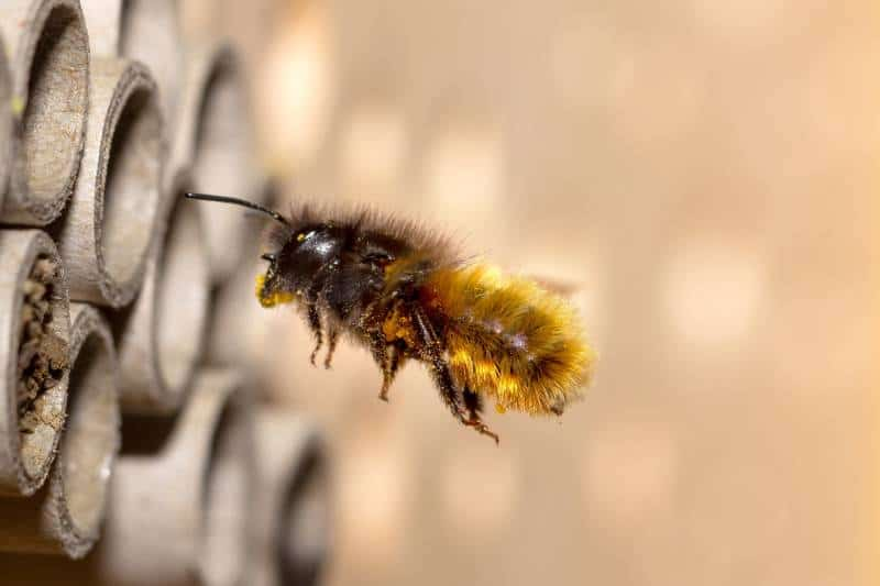 mason bee differences