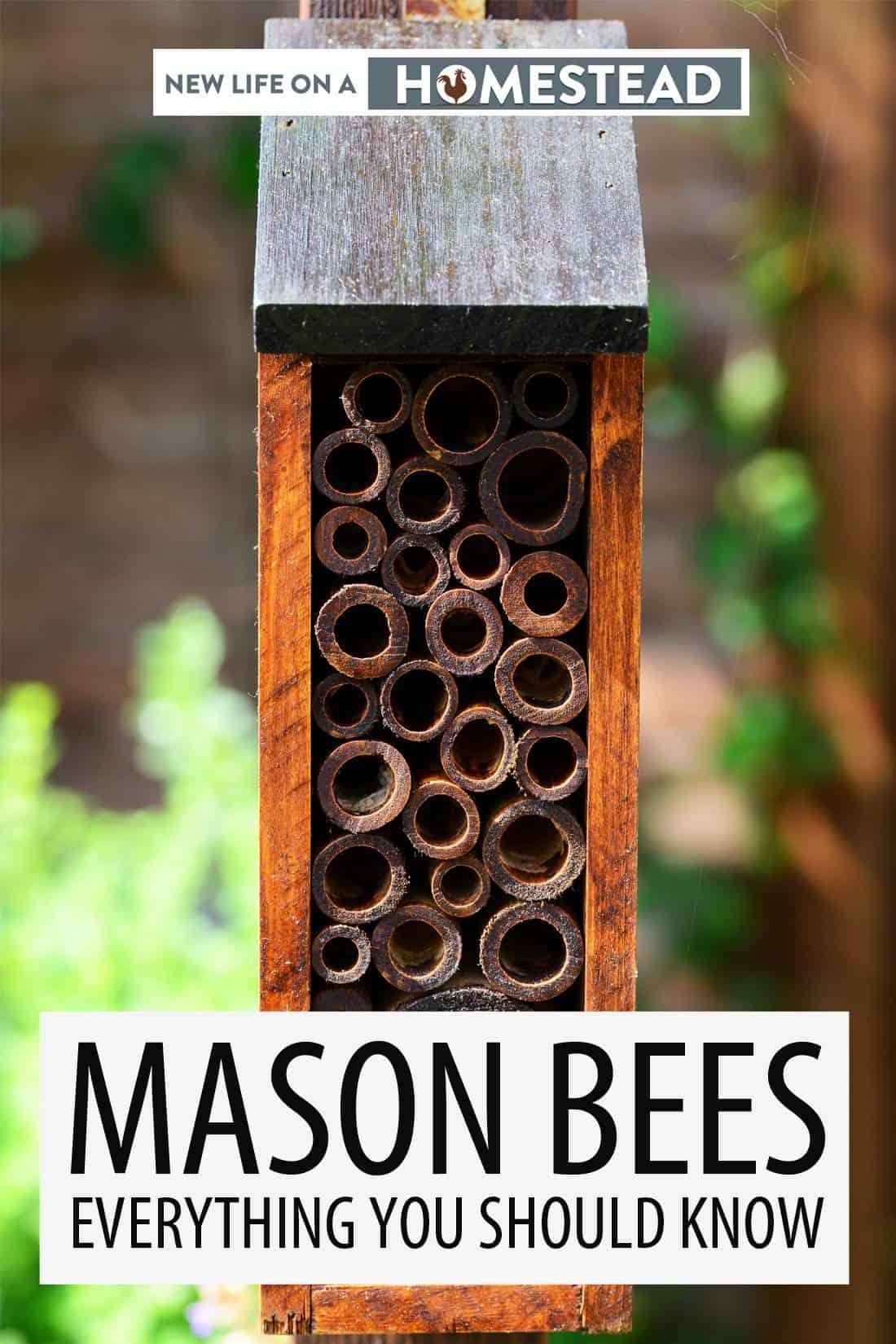 mason bees pin image