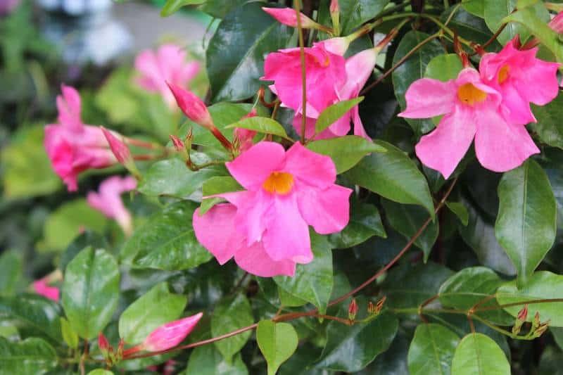Dipladenia flowers