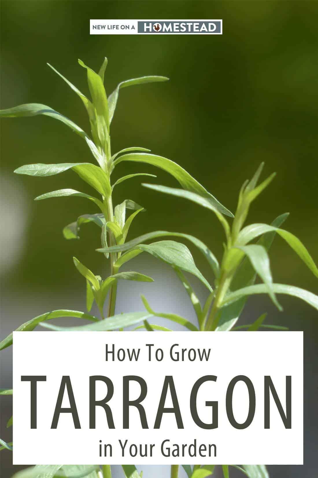 growing tarragon pin image