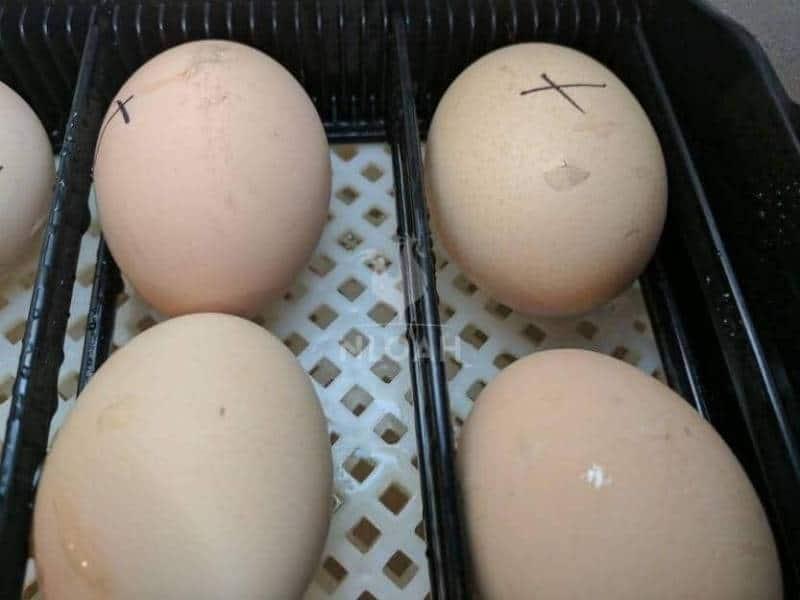 marked eggs inside incubator