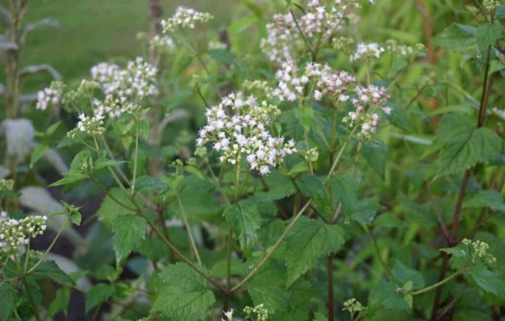 Ageratina altissima flowers
