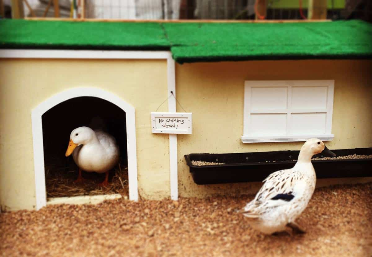 Welsh Harlequin ducks