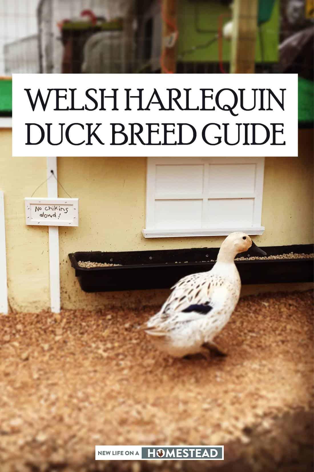 Welsh Harlequin ducks pinterest