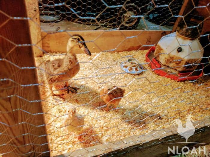 baby ducklings in brooder