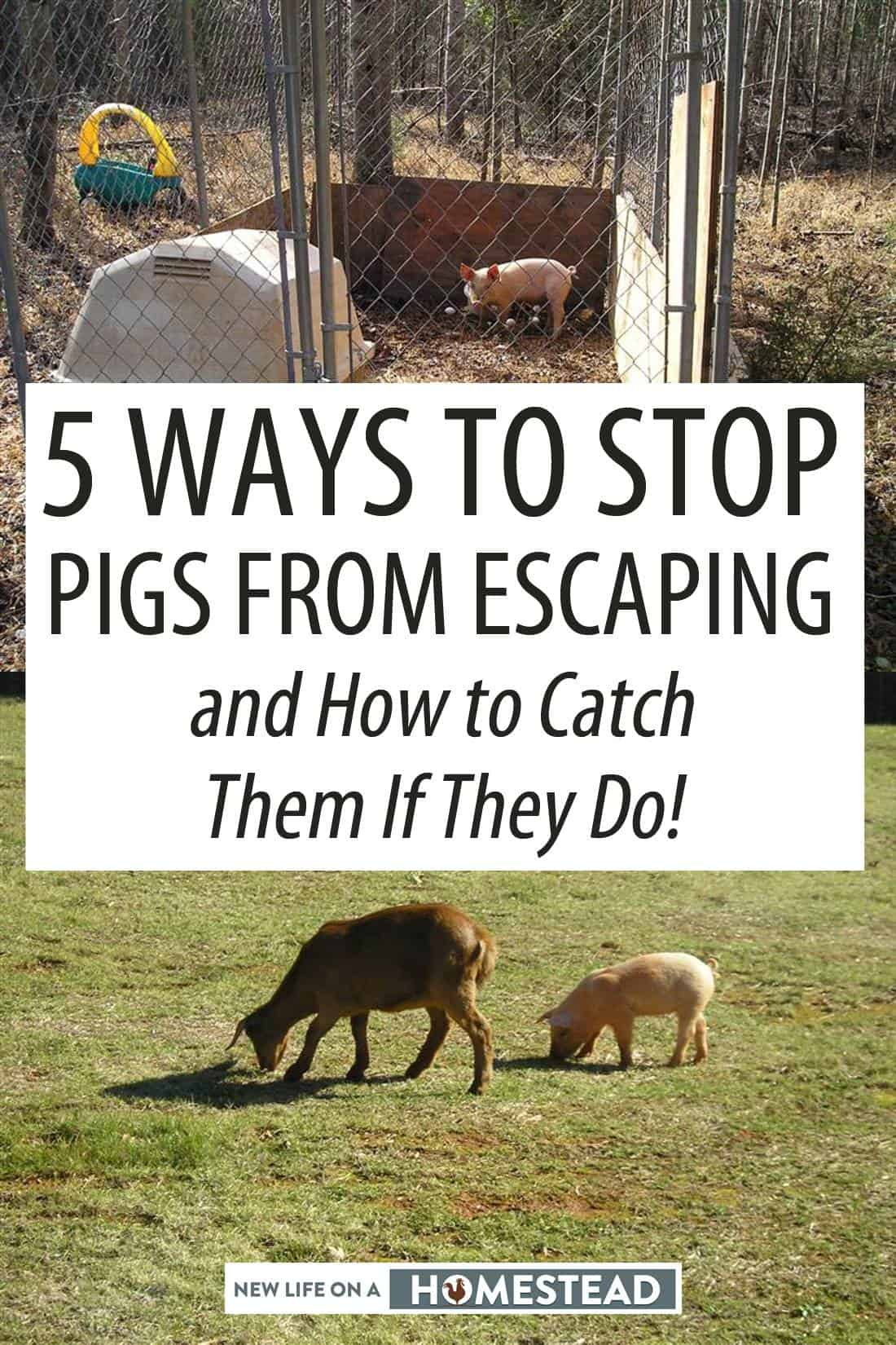 how to catch a pig Pinterest image
