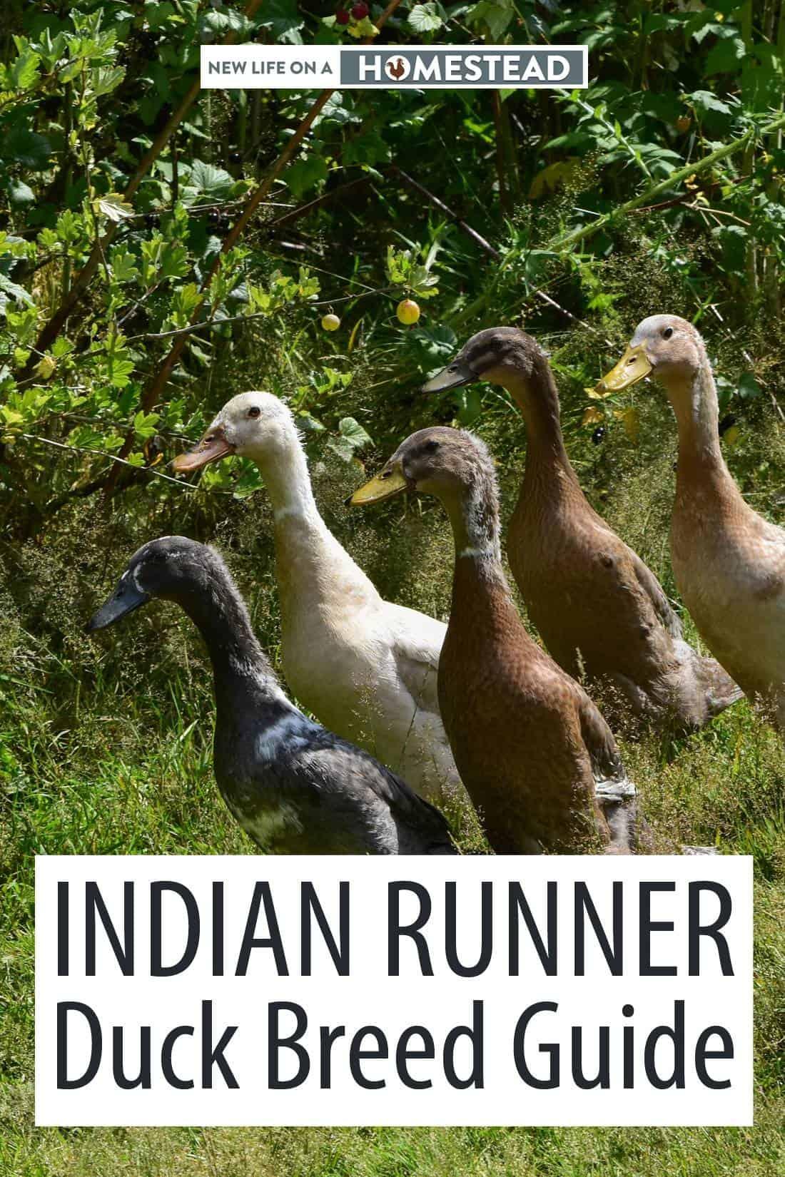 Indian Runner ducks pinterest