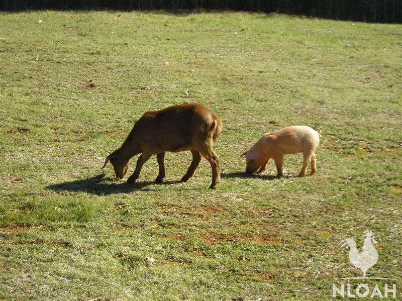 pig and goat free-ranging