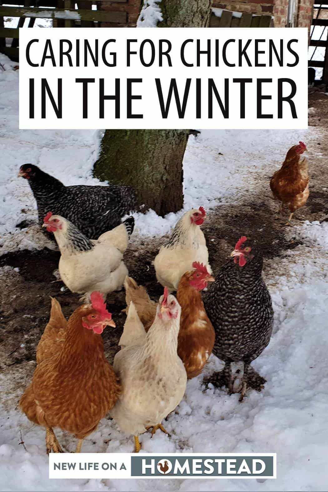winter chickens care pinterest image