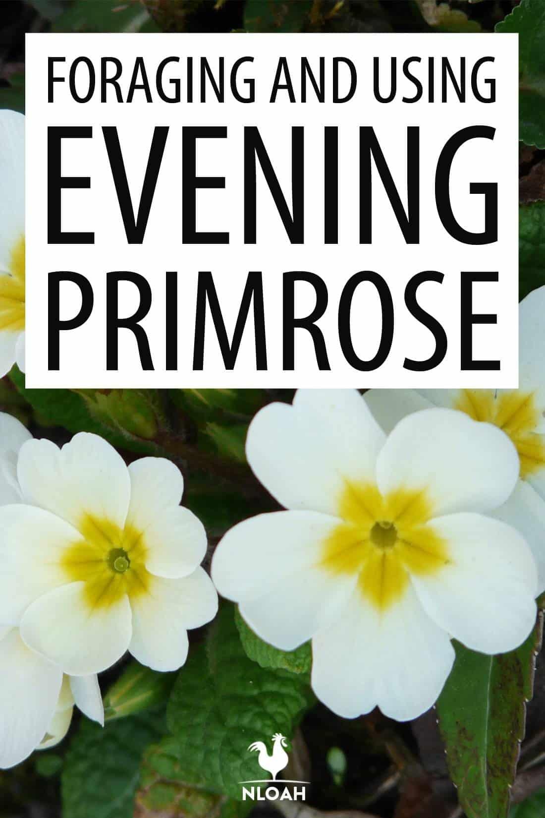evening primrose pinterest