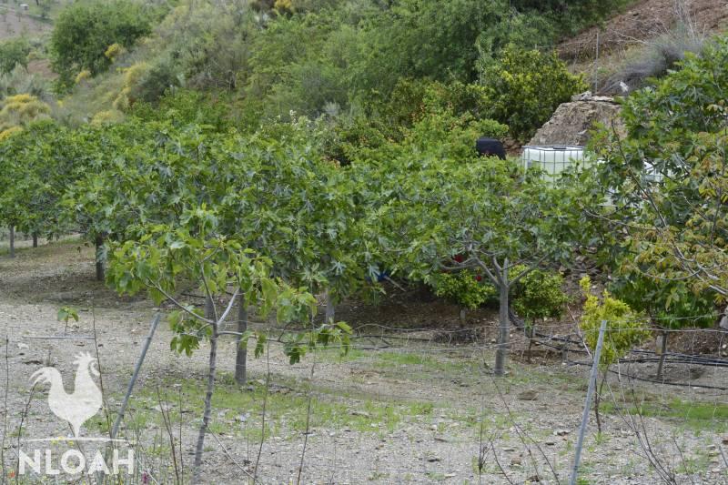 orchard fig orange lemon grapefruit pomegranate trees