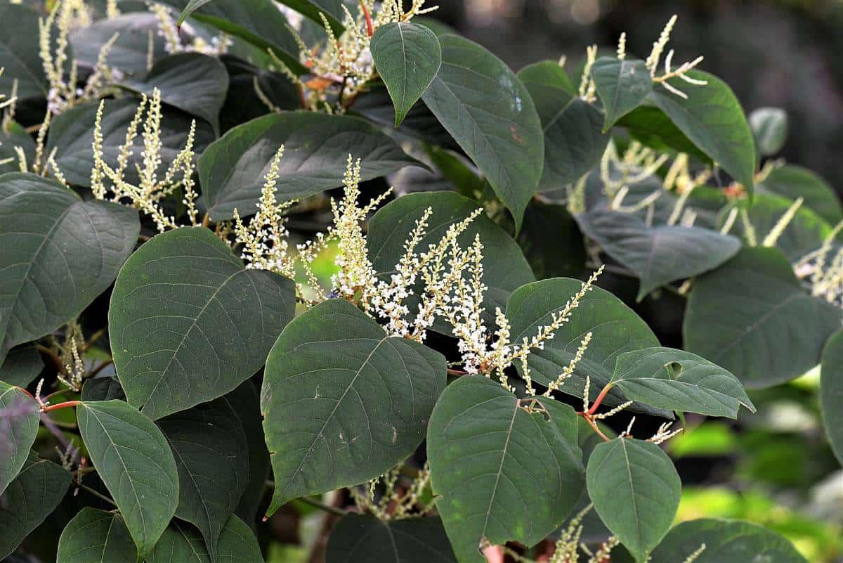 japaneese knotweed
