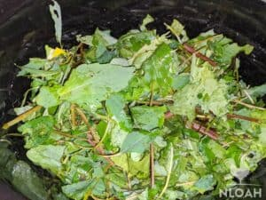 jewelweed and plantain leaves