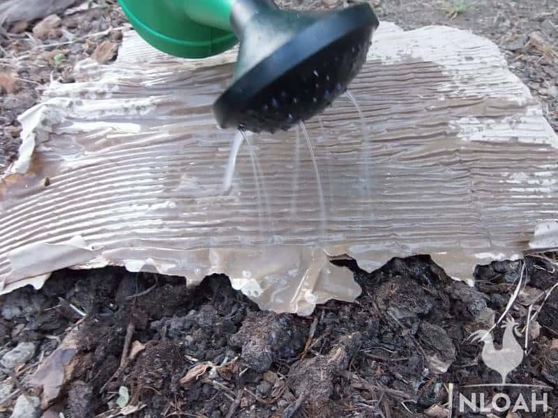 watering cardboard placed over compost