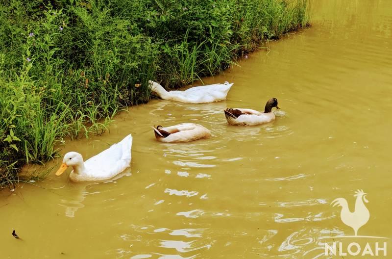 Pekin and Khaki Campbell ducks on pond