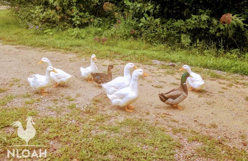 Peking and Rouen ducks