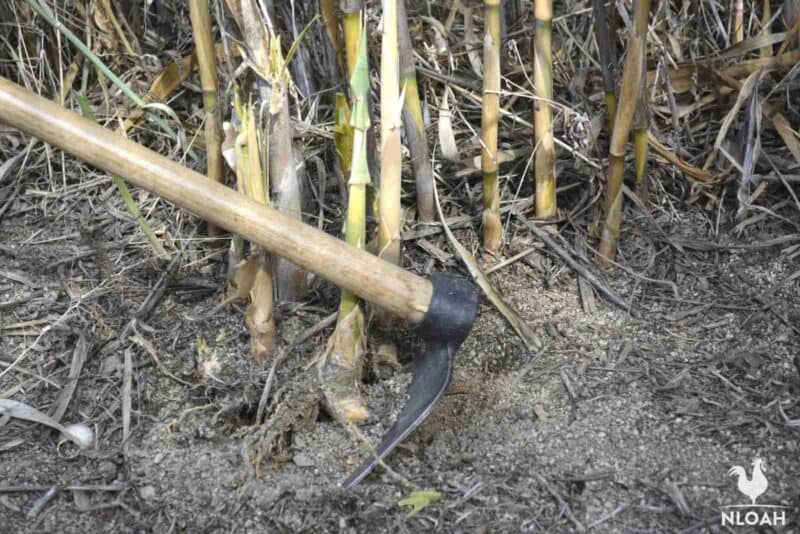 digging bamboo roots out