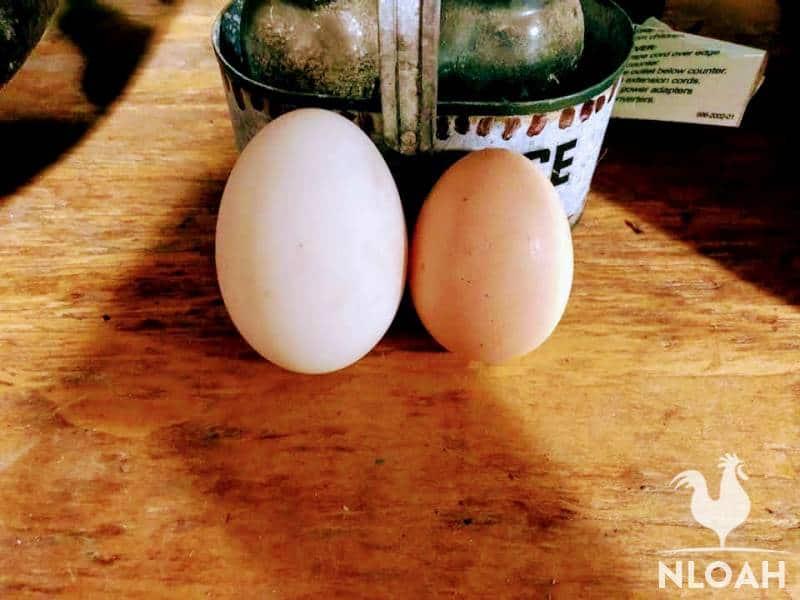 duck egg next to chicken egg