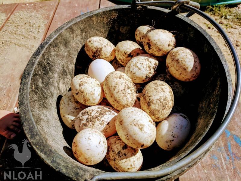 duck eggs in metal bucket