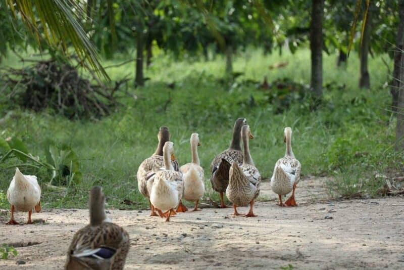 ducks on the homestead
