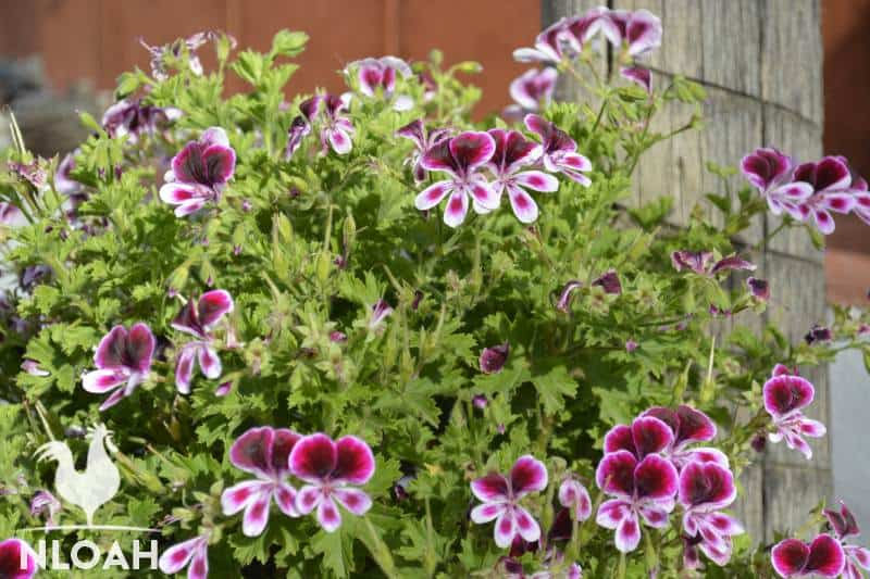 geranium  plant and flowers
