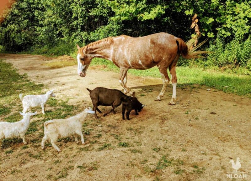 goats playing with horse