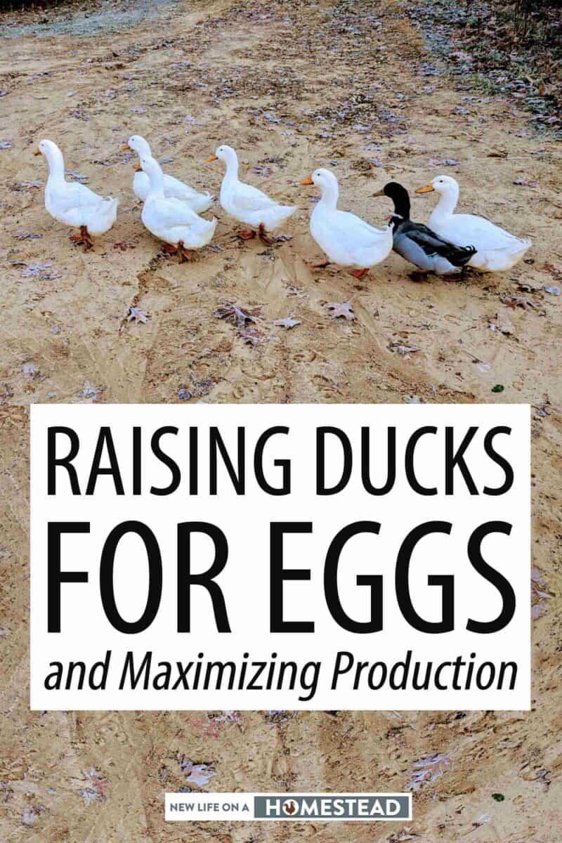 raising ducks for eggs Pinterest image